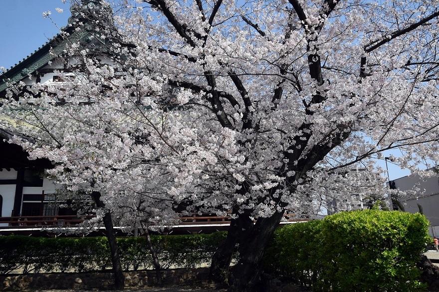 大念仏寺・桜 (2)