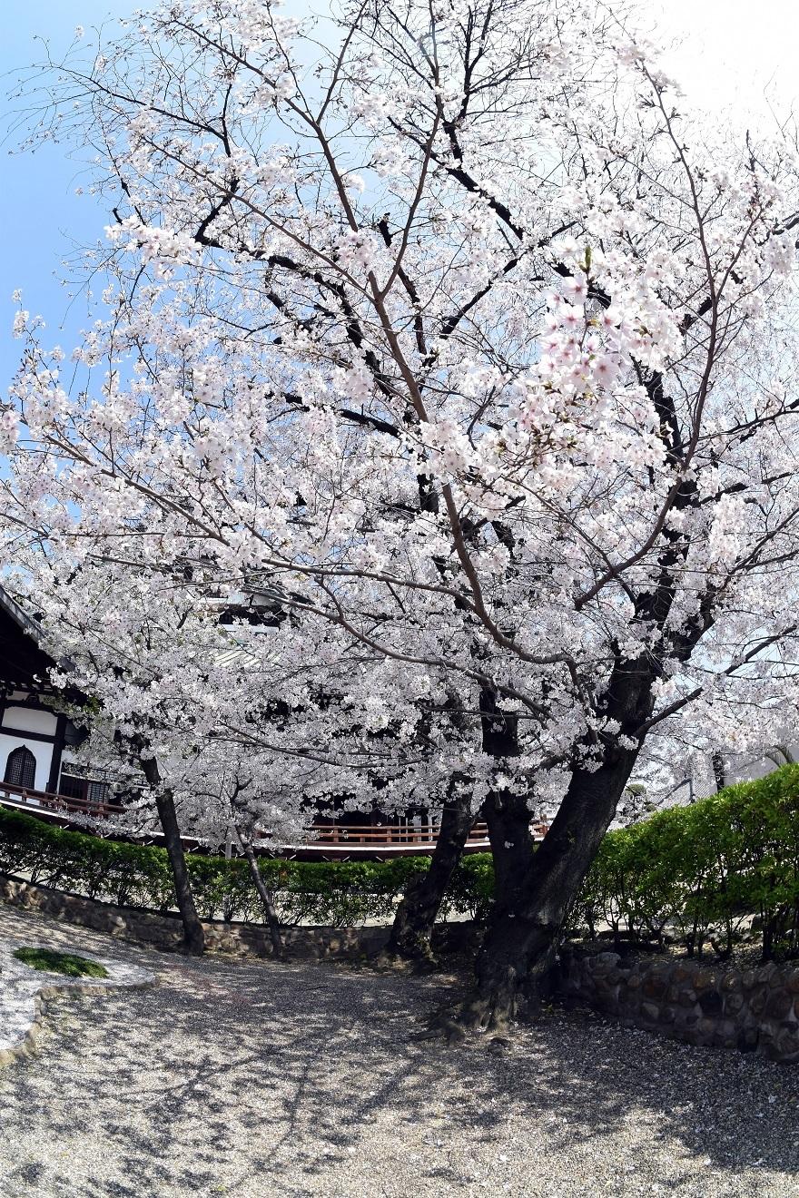 大念仏寺・桜 (3)