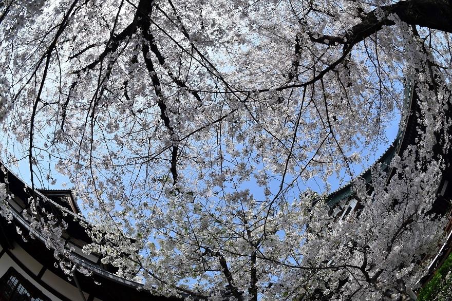 大念仏寺・桜 (4)