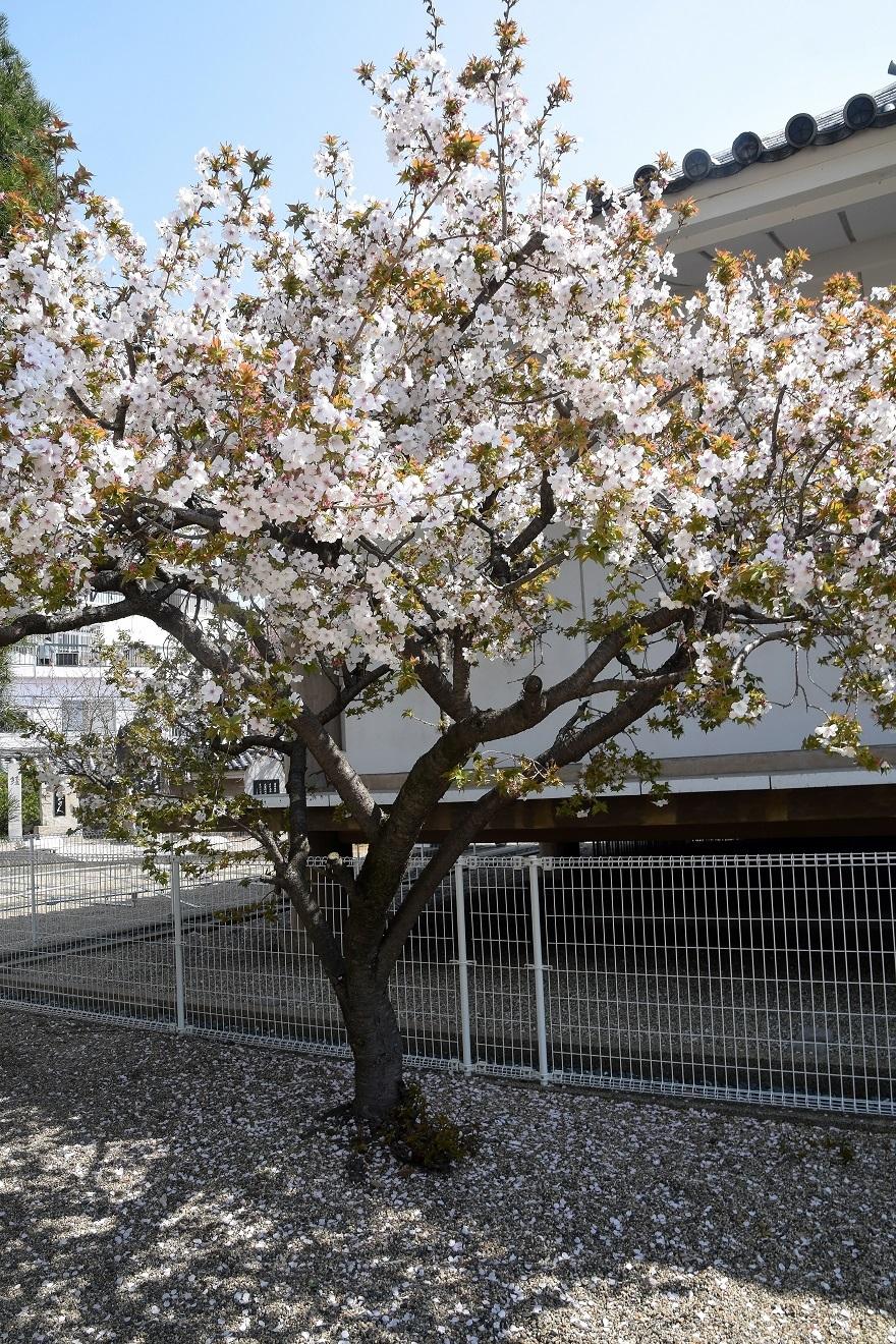 大念仏寺・桜 (6)