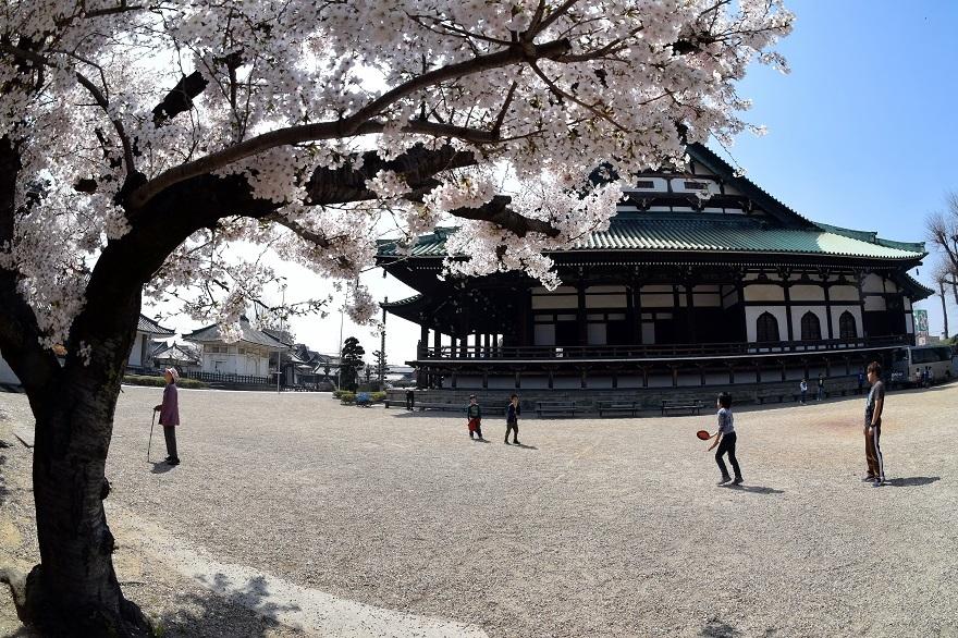 大念仏寺・桜 (8)