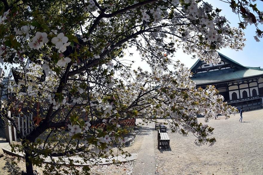 大念仏寺・桜 (9)