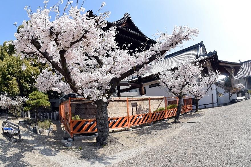 大念仏寺・桜 (10)
