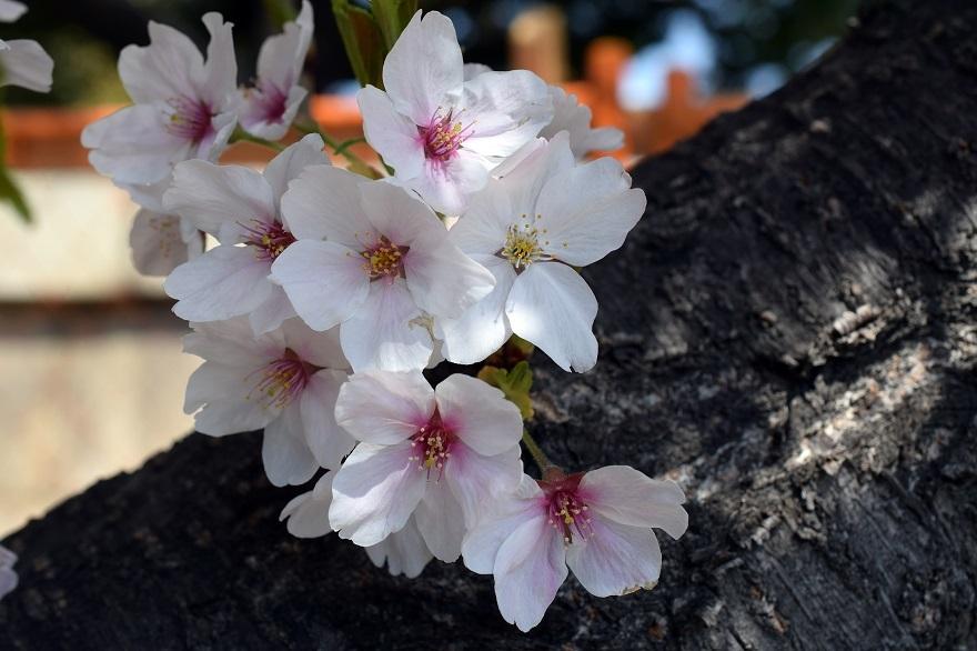 大念仏寺・桜 (11)
