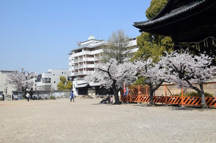 大念仏寺・桜 (12)