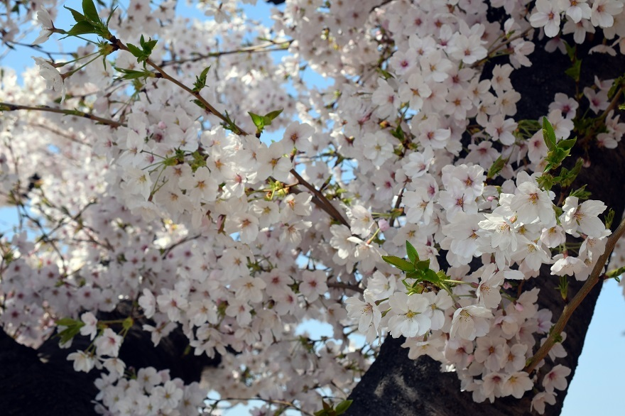 大念仏寺・桜 (13)