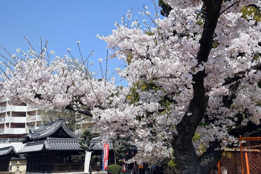 大念仏寺・桜 (14)