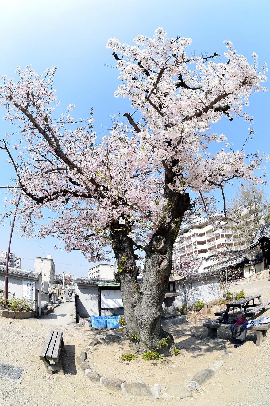 大念仏寺・桜 (15)