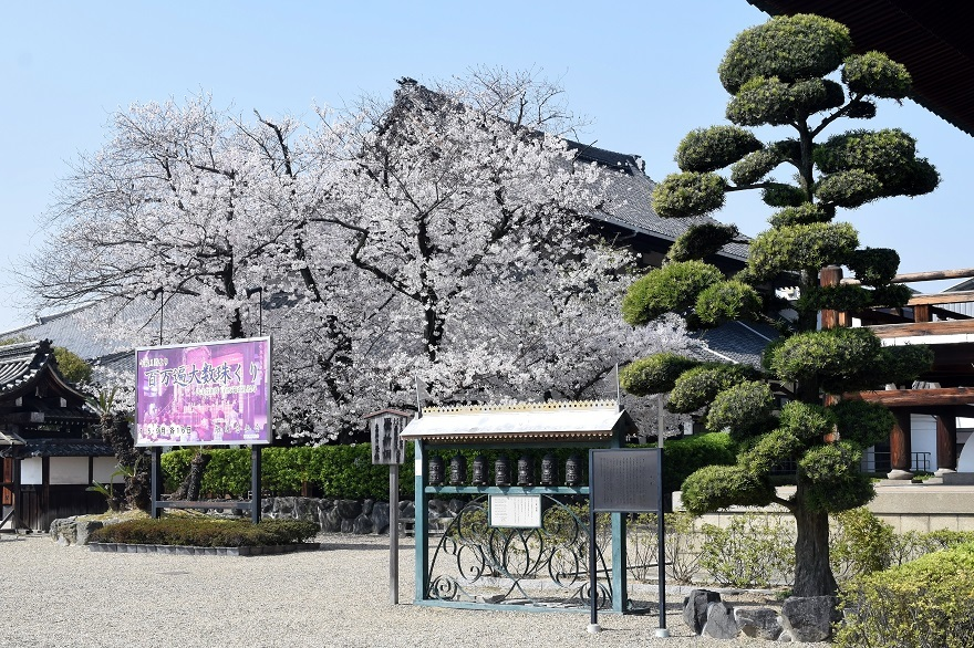 大念仏寺・桜 (16)
