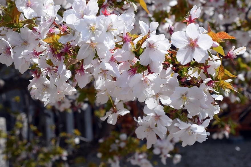 大念仏寺・桜 (18)
