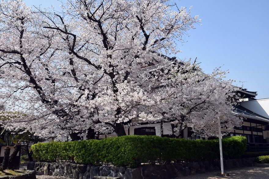 大念仏寺・桜 (021)