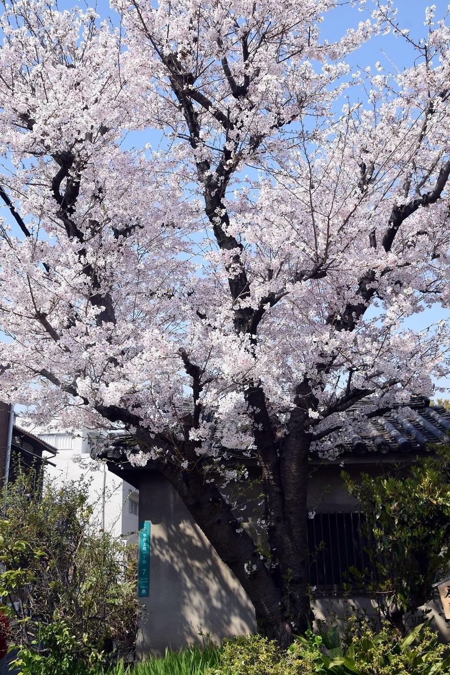 大念仏寺・桜 (20)