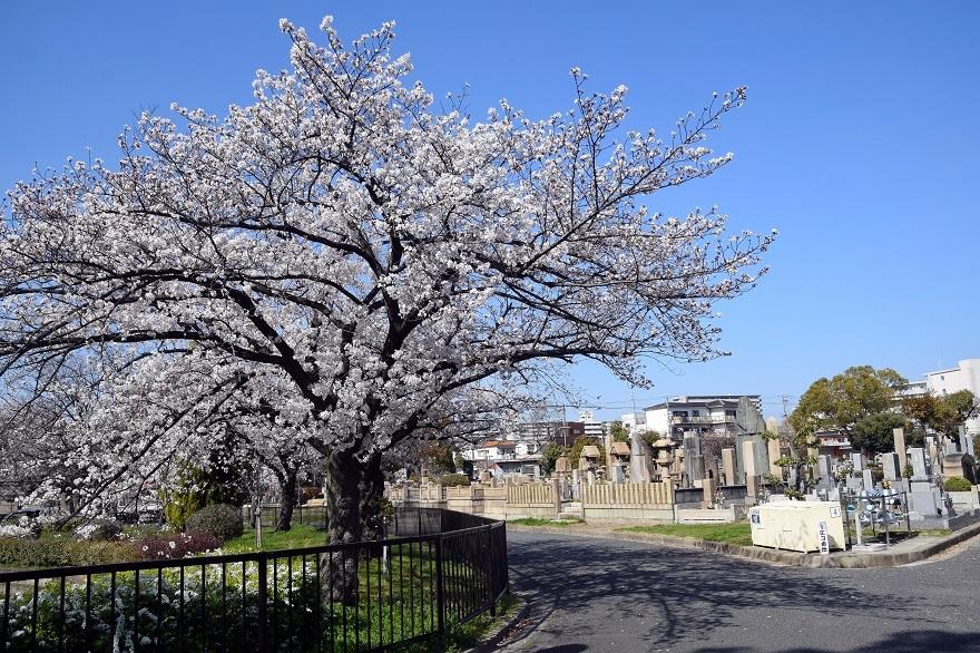 瓜破霊園・桜 (00)