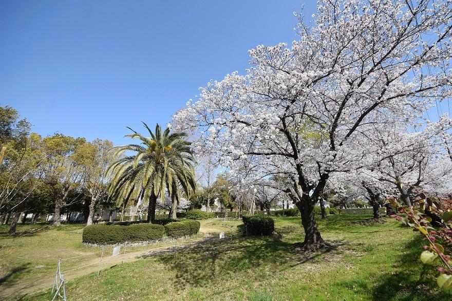 瓜破霊園・桜 (0)