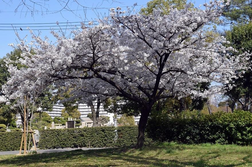 瓜破霊園・桜 (1)