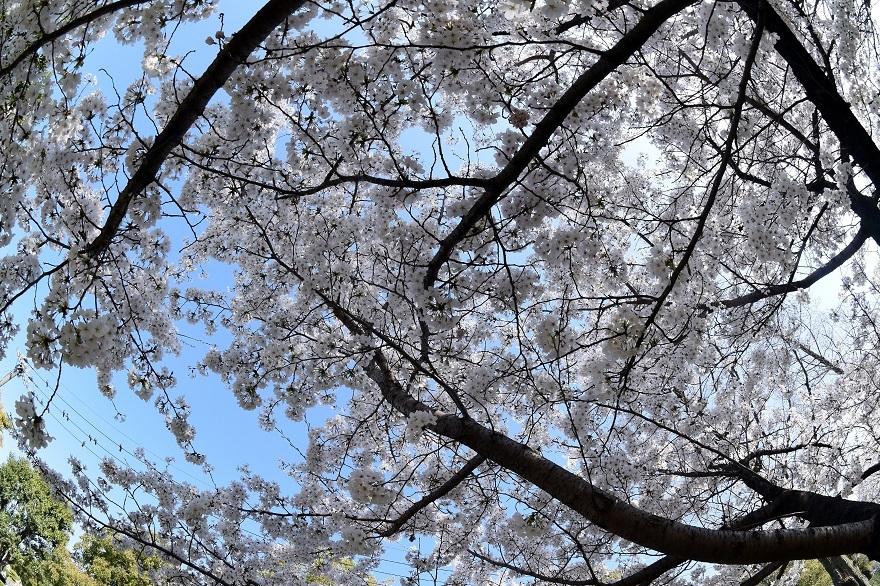 瓜破霊園・桜 (2)