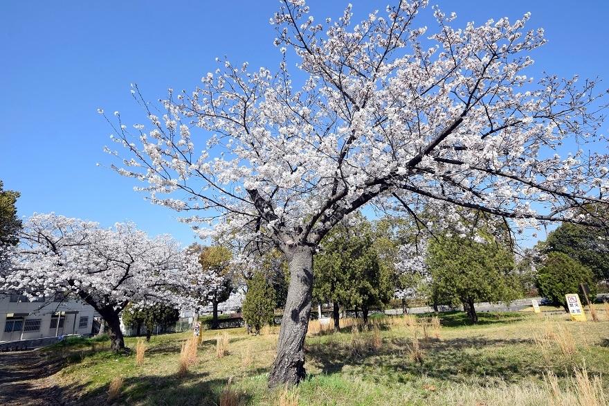 瓜破霊園・桜 (4)
