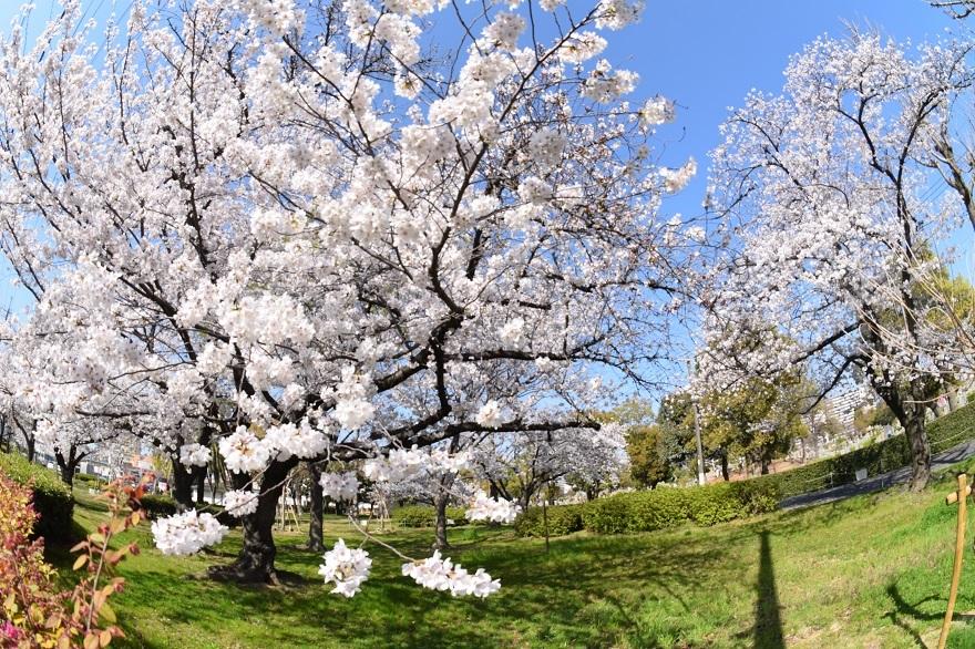 瓜破霊園・桜 (5)