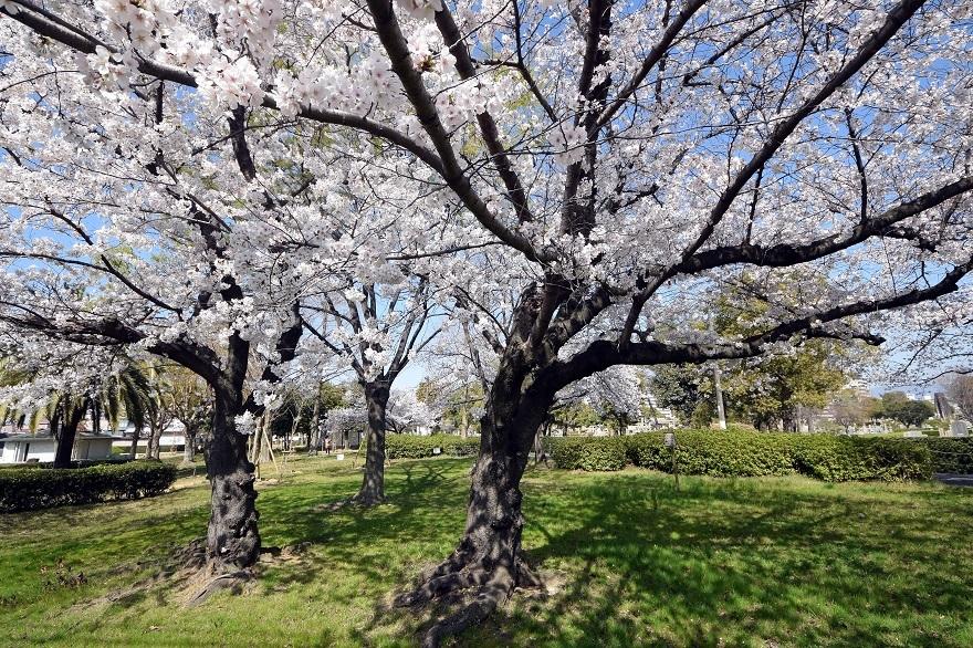 瓜破霊園・桜 (6)