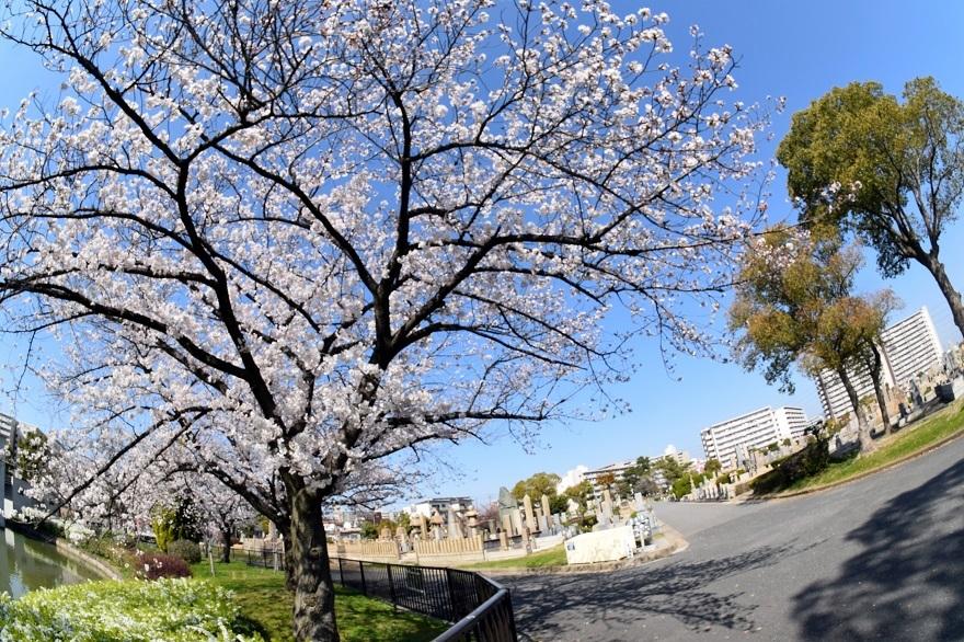 瓜破霊園・桜 (7)