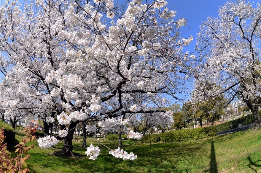瓜破霊園・桜 (9)