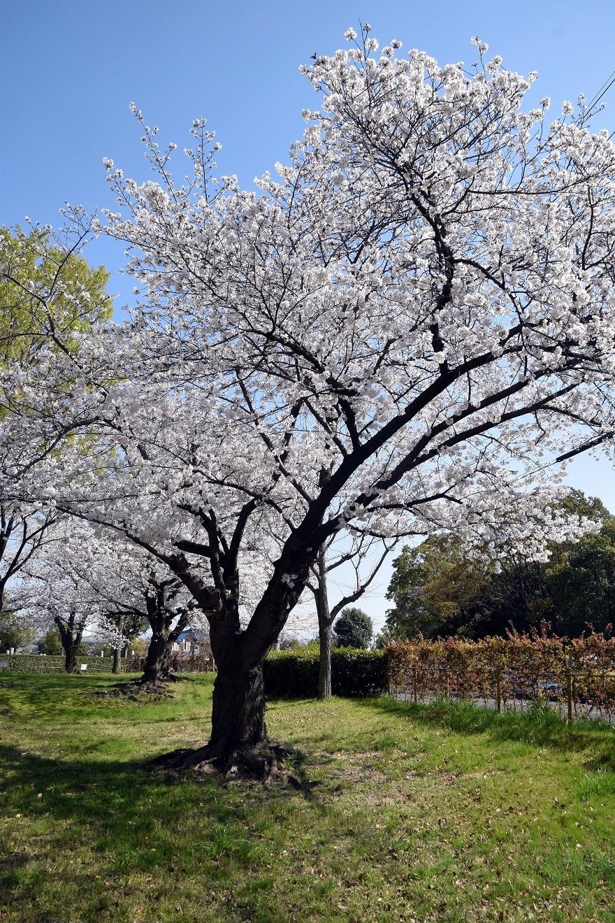 瓜破霊園・桜 (10)