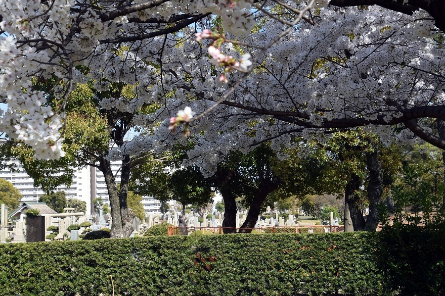 瓜破霊園・桜 (12)