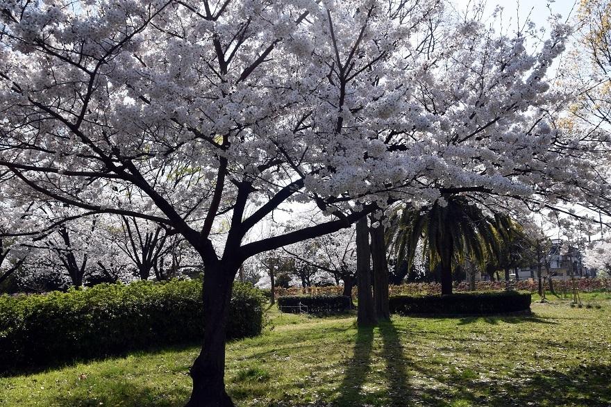 瓜破霊園・桜 (11)