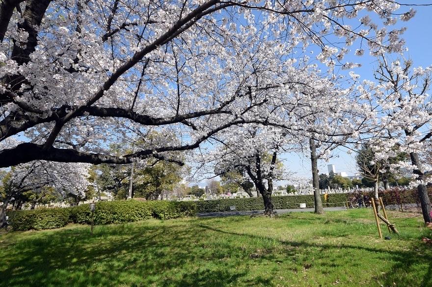 瓜破霊園・桜 (13)