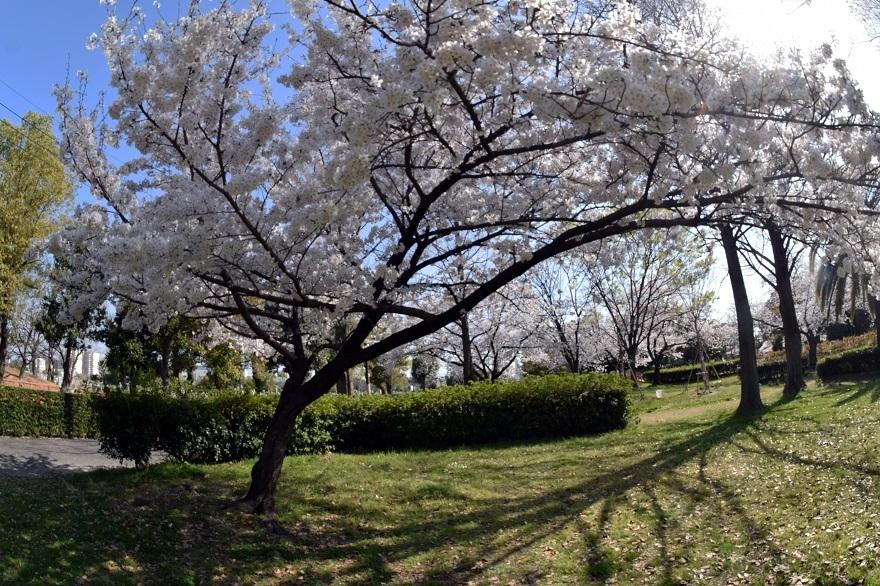 瓜破霊園・桜 (14)
