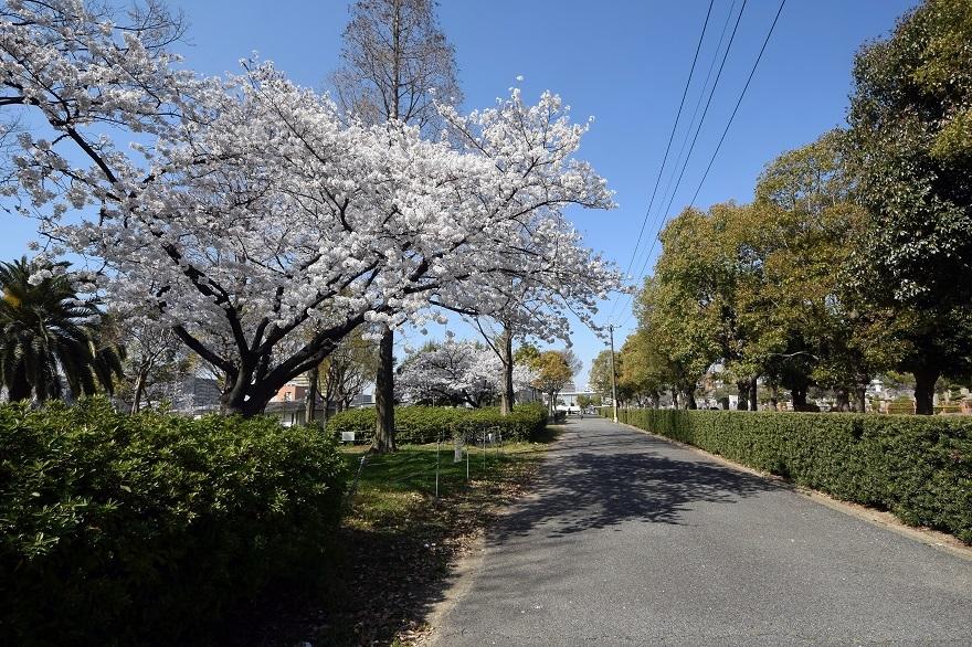 瓜破霊園・桜 (08)