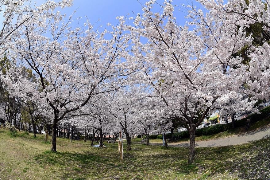 白鷺・桜 (3)