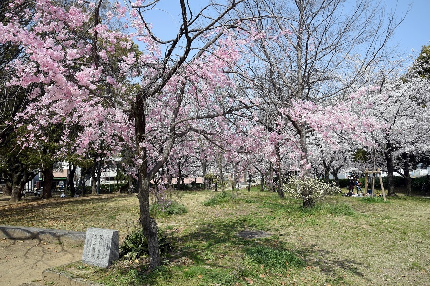 白鷺・桜 (4)