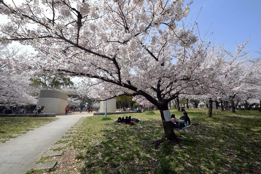 白鷺・桜 (6)