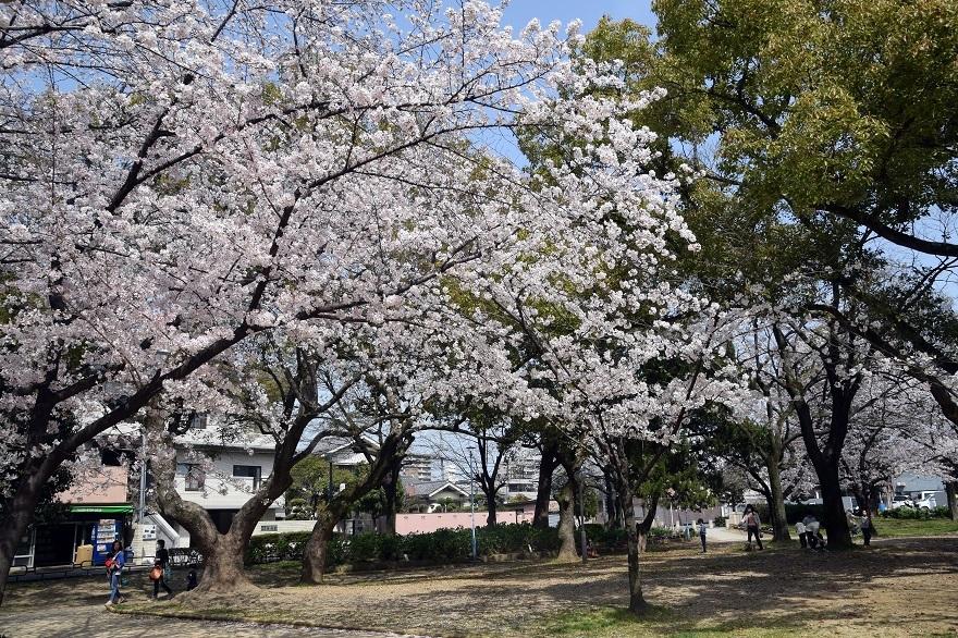 白鷺・桜 (7)