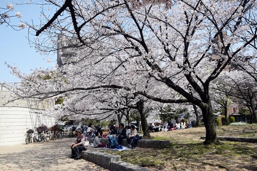 白鷺・桜 (8)