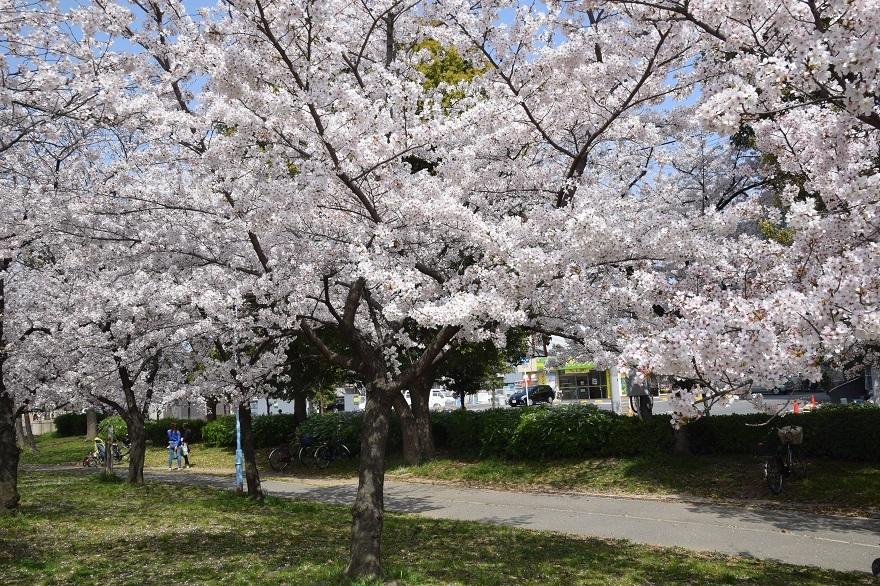 白鷺・桜 (10)
