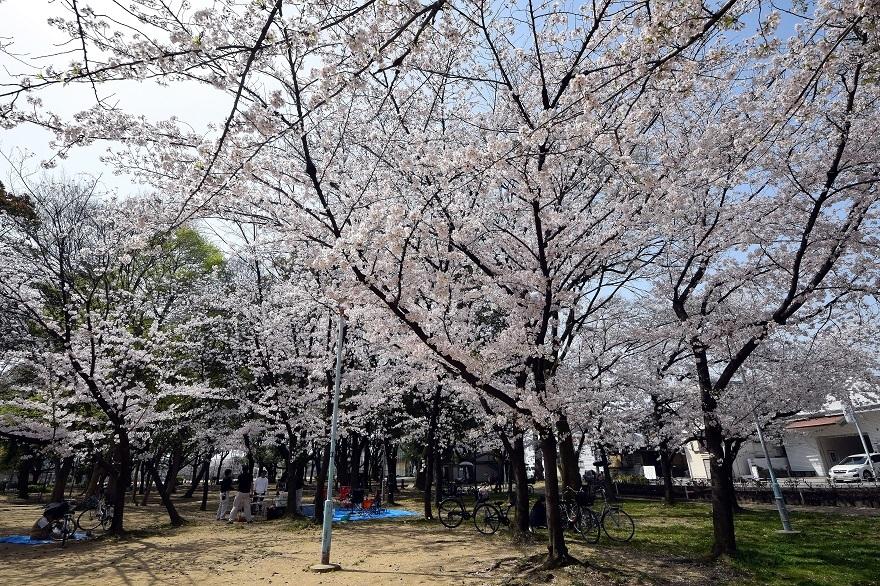 白鷺・桜 (13)