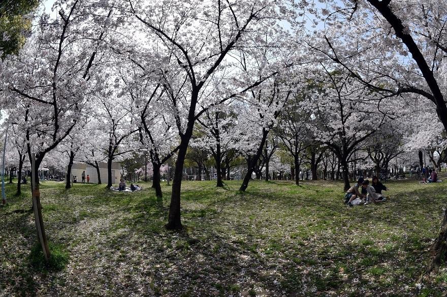 白鷺・桜 (14)