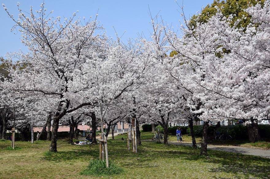 白鷺・桜 (17)