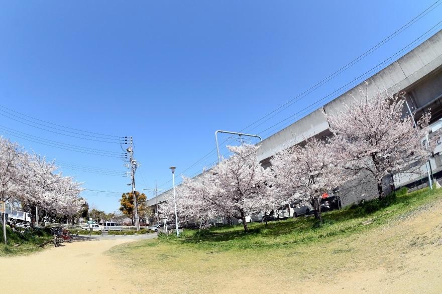長池公園・桜 (0)