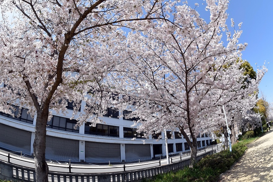 長池公園・桜 (2)