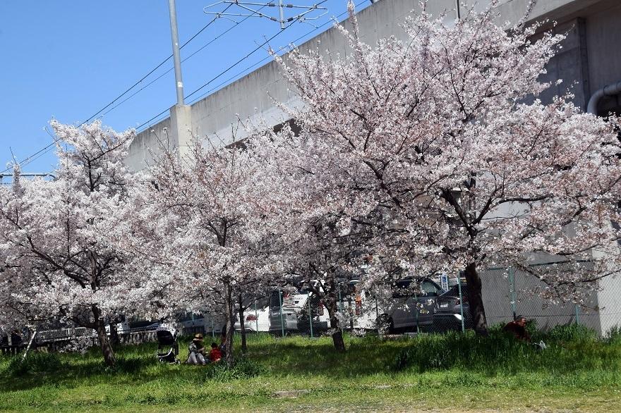 長池公園・桜 (4)