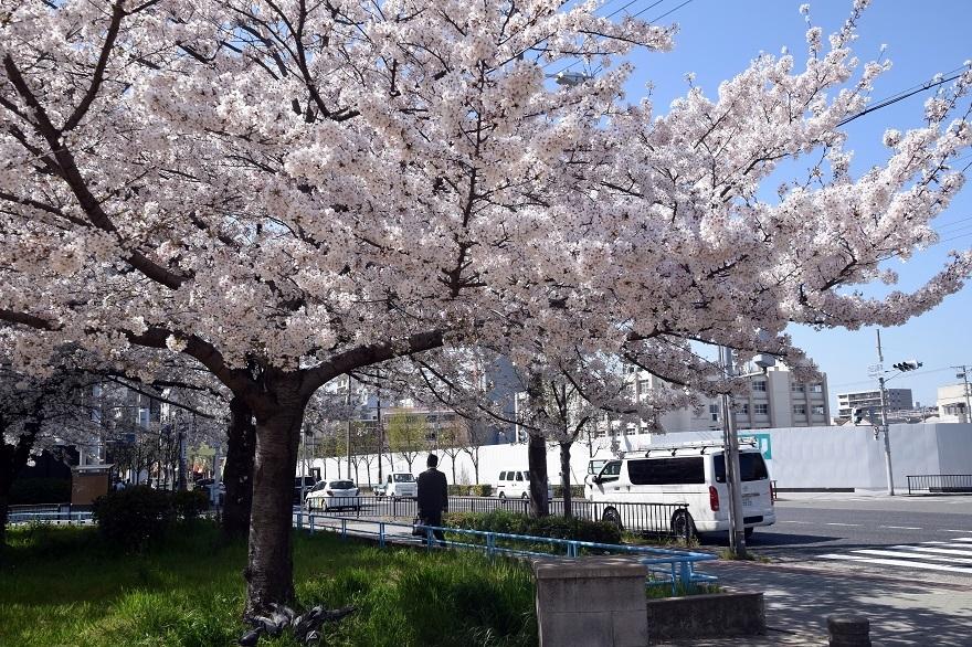 長池公園・桜 (5)