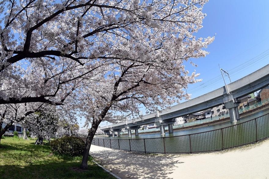 長池公園・桜 (7)