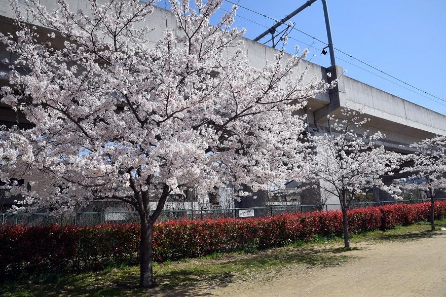 長池公園・桜 (8)