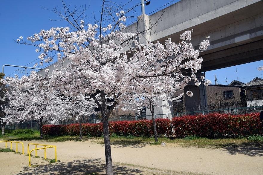 長池公園・桜 (9)