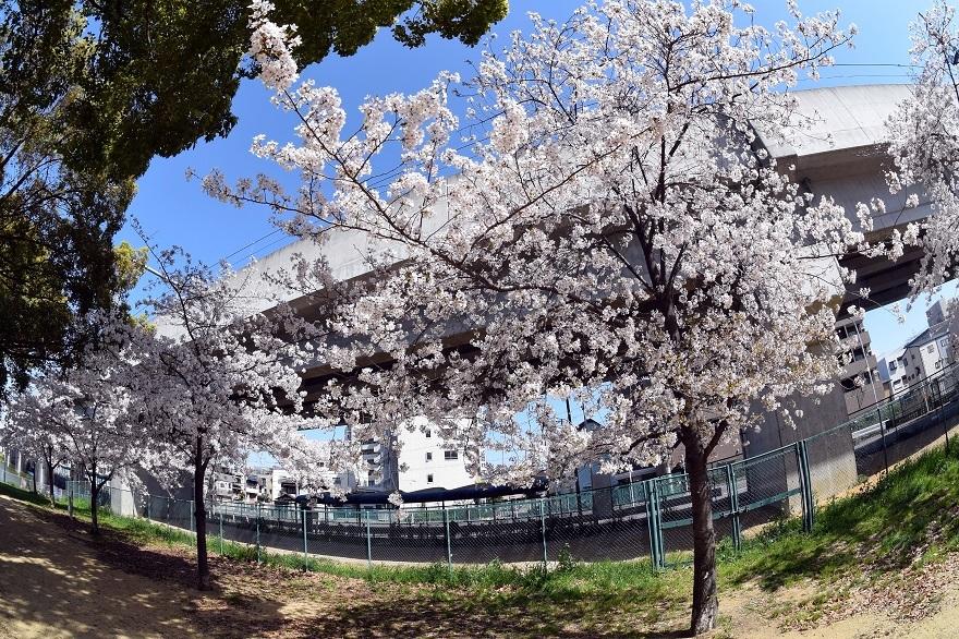 長池公園・桜 (10)