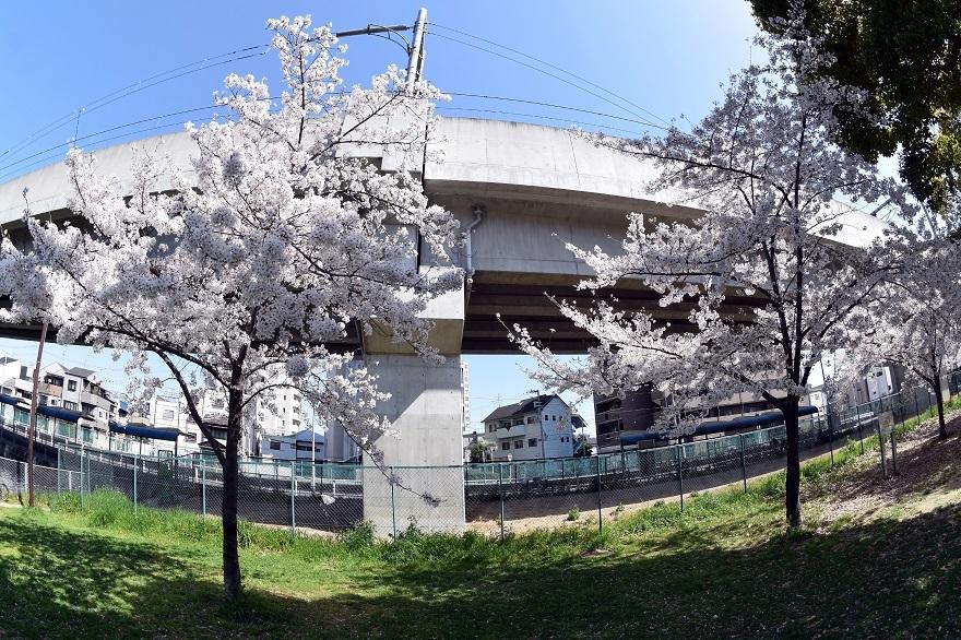 長池公園・桜 (11)