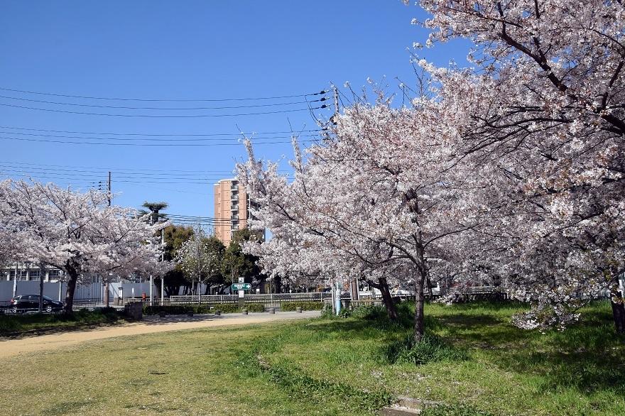 長池公園・桜 (12)